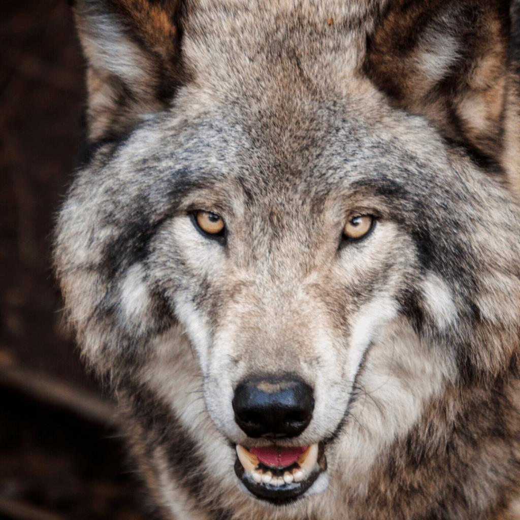 Suivriez-vous un Loup pour prendre de grandes décisions ?