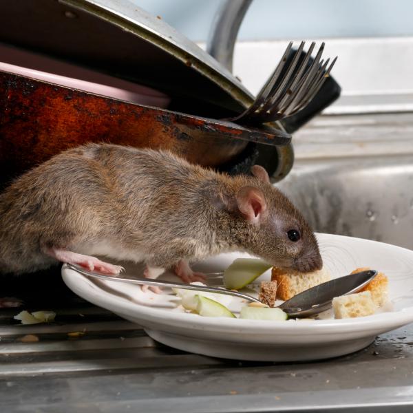 idee recue : le compost attire les rats